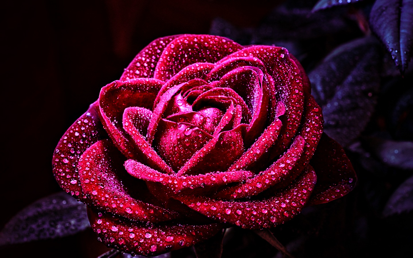 crimson rose with dewdrops