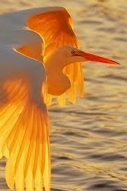 golden stork