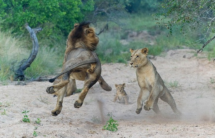 mother lion pounces